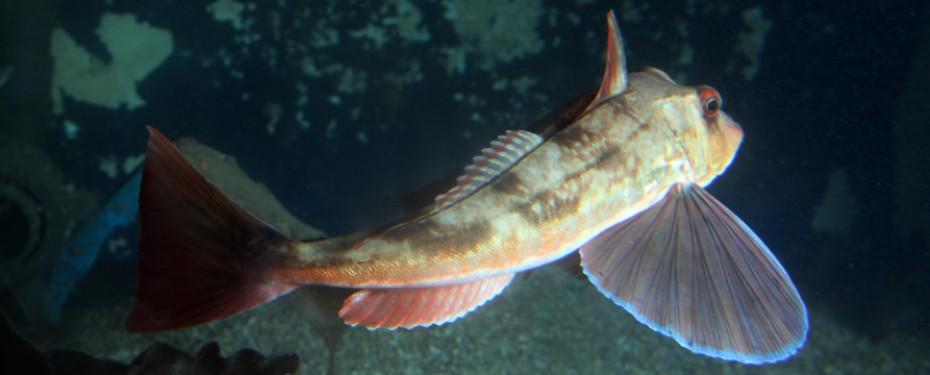 Rødknurr i Risør Akvarium