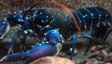 Blå hummer Risør Akvarium