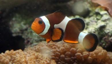 Klovnefisk
